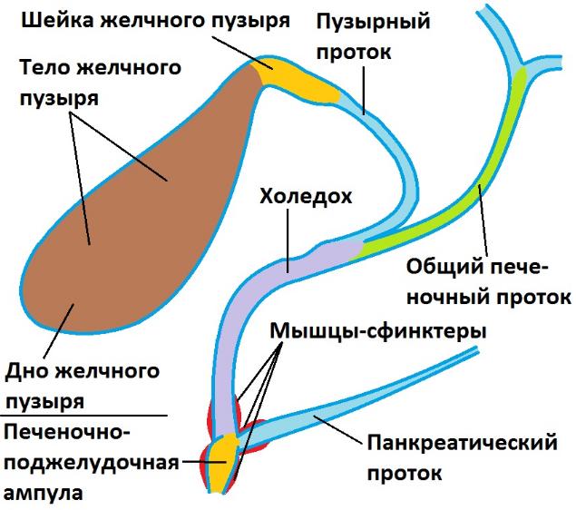 Холедох а ЖП - анатомия