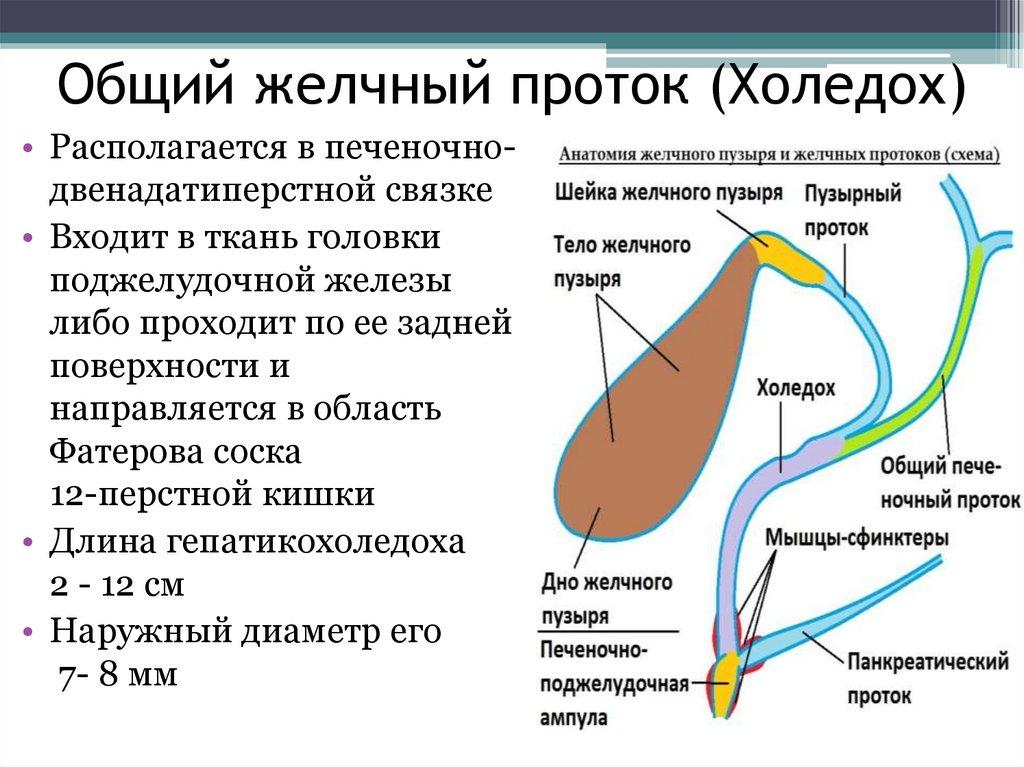 Общий желчный проток - определение и анатомия